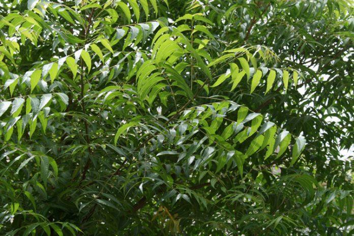 tree neem