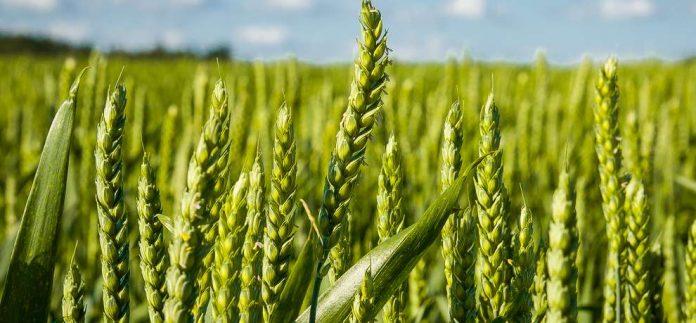wheat 1469939337